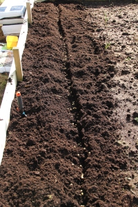 Peas planted directly in the soil.