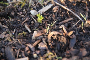 The raspberry bushes have started to sprout new shoots too