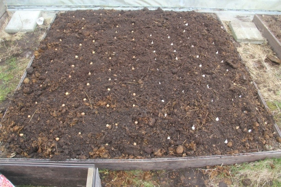 Onions sown in the newly prepared bed