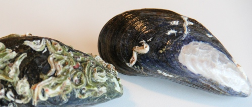 Mussels_IMG_5366