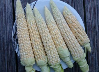 Corn_DSC_0921 (1)